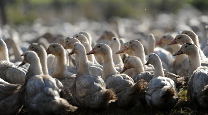 China 'recruta' 100 mil patos para deter 400 bilhões de gafanhotos.