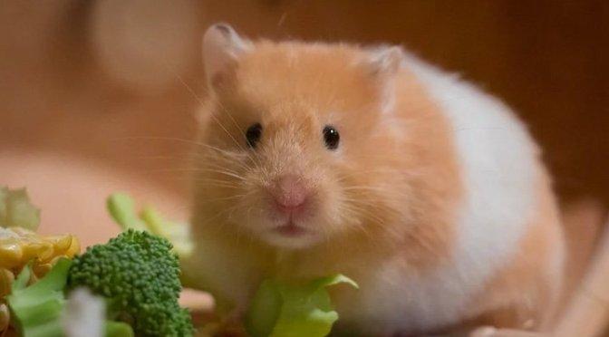 7 curiosidades sobre hamsters!